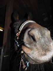 Zvědavý kůň s Aiva ohlávkou